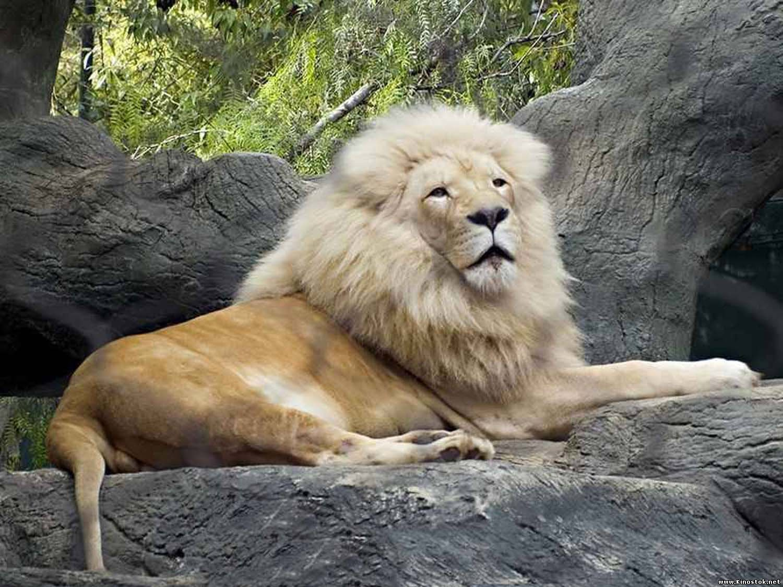 Фото огромных львов с тиграми 2